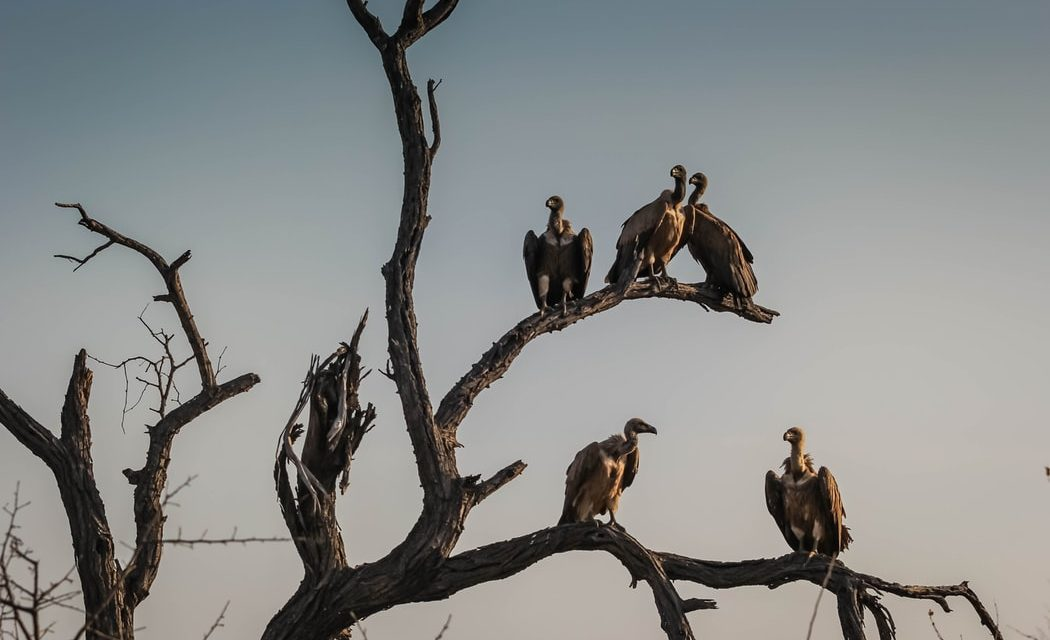 This Committee Will Get It Done – Houston Zoo Welcomes Committee of Vultures